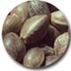 semilla de cáñamo